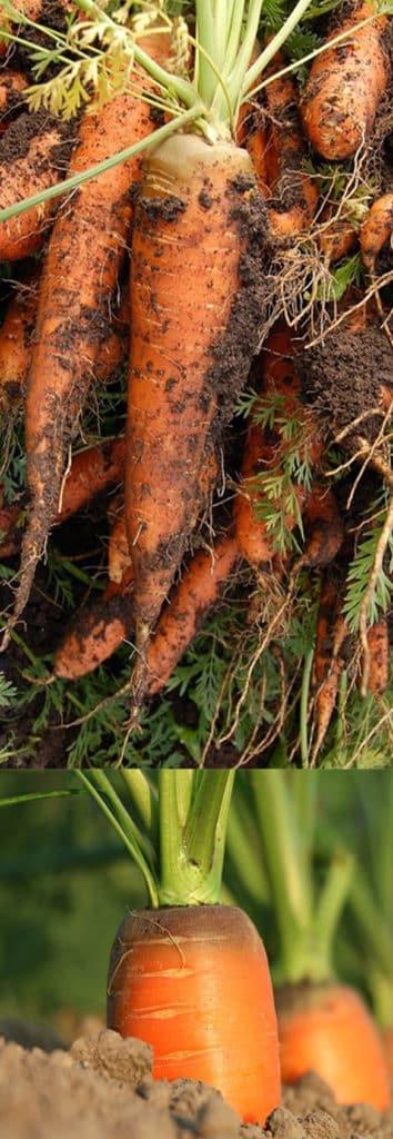 морковь перед хранением важно правильно собрать