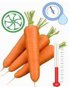 морковь надо хранить в правильных условиях