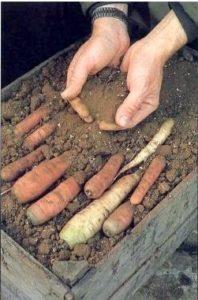 морковь лучше пересыпать песком