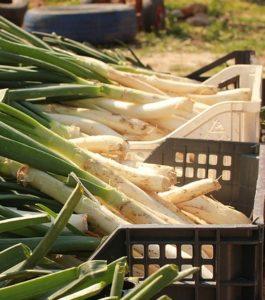 отдельной заготовки перьев у лука порея , их нужно срезать до сбора с луковиц