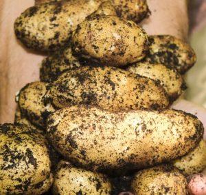 важно правильно подготовить картофель к хранению