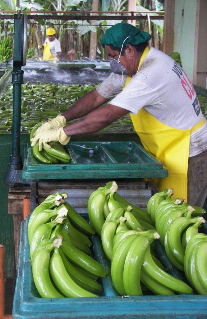 зеленые бананы как добывают