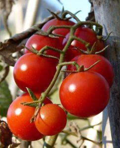 помидоры перед хранением важно правильно обрать