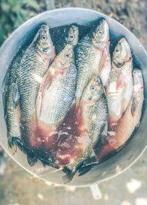 живую рыбу чистим сразу