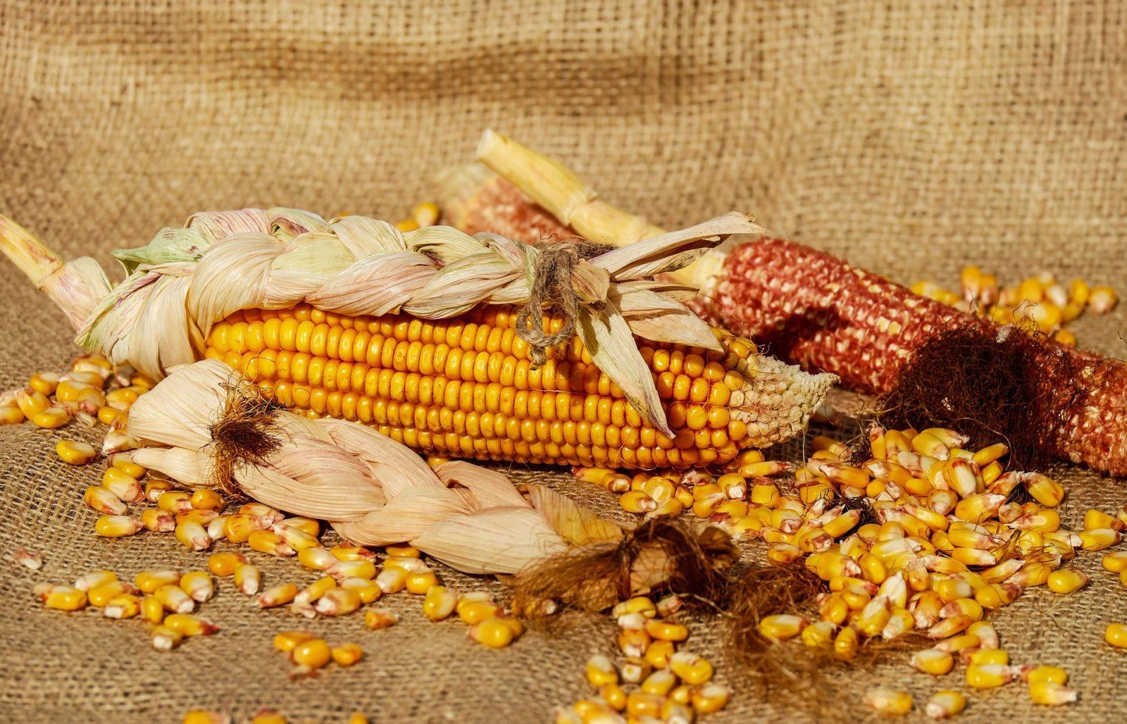 Как хранить свежую и вареную кукурузу