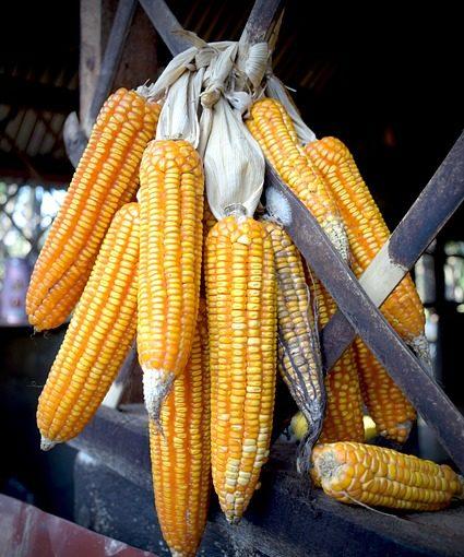 кукурузу в початках можно подвесить